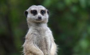 meerkat-MZ-animal-profile-web620_0